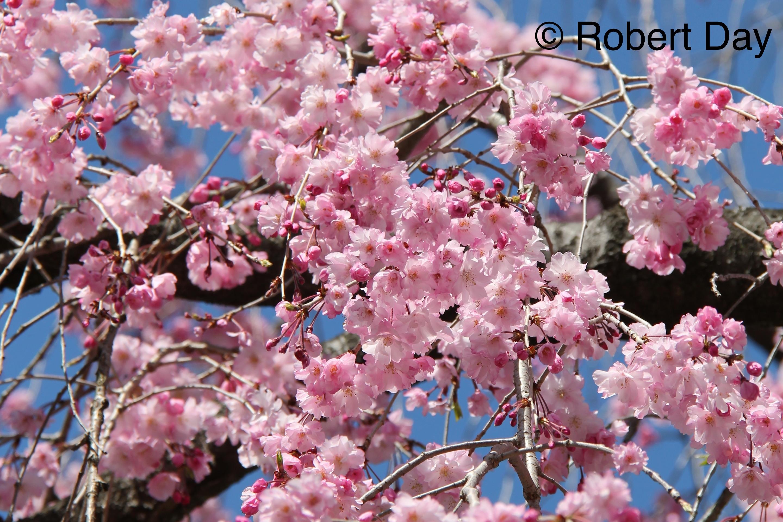 Cherry blossom sb release date